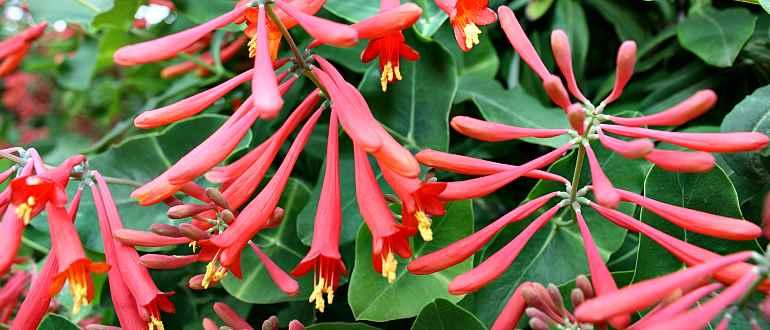 Цветы декоративной жимолости