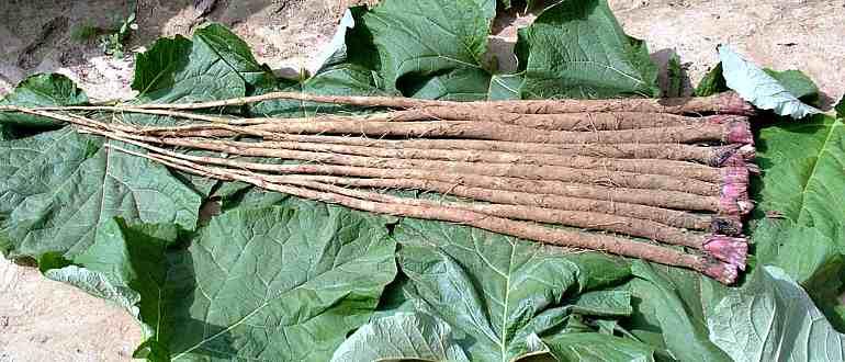 Молодые корни лопуха