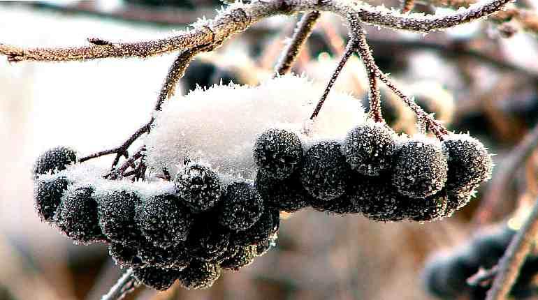 Ветка черноплодной рябины в снегу