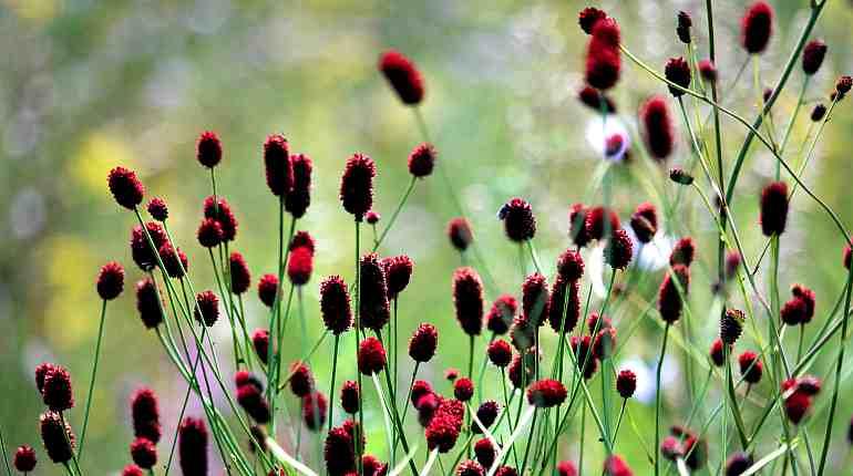 Цветы кровохлебки