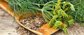 Свежий укроп и семена
