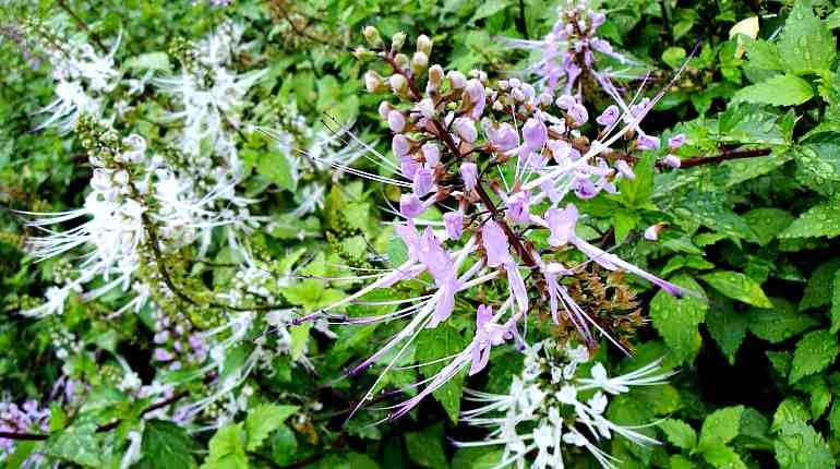 Цветы ортосифона