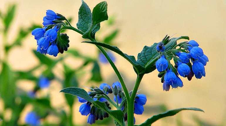 Цветы окопника