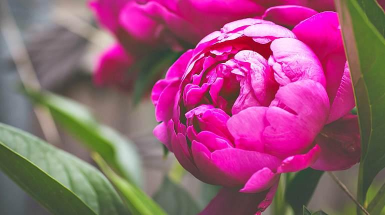 Цветок пион