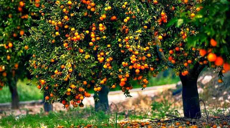 Мандариновые деревья