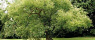 Дерево софоры японской