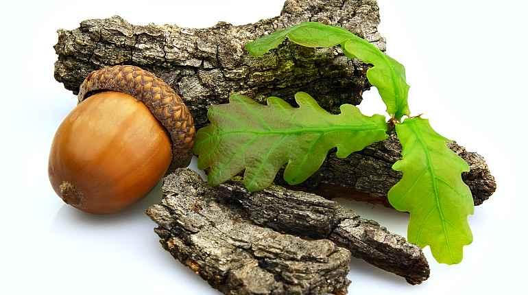 Кора, листья, желудь дуба