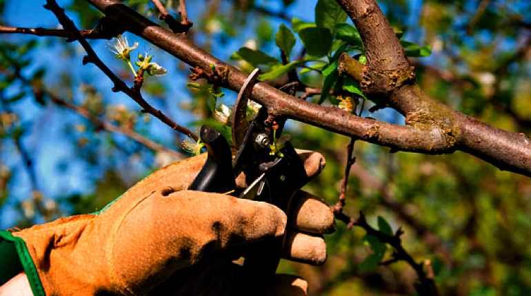 Заготовка коры яблони