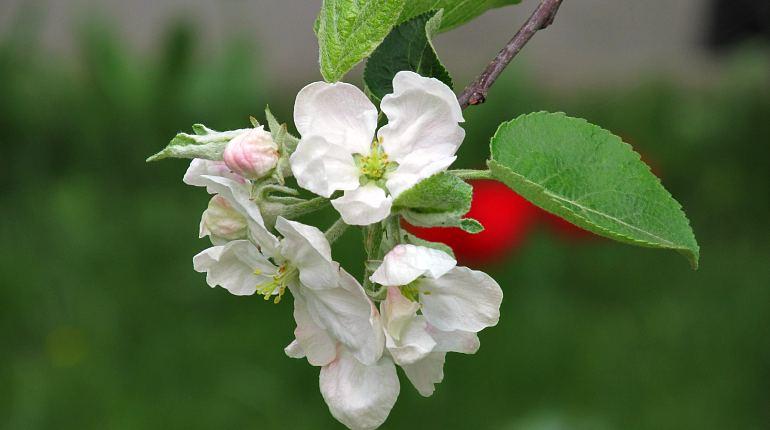 Ветка яблони с цветками