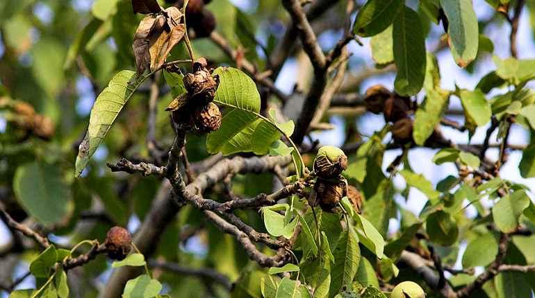 Ветки грецкого ореха
