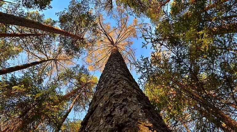 Кора дерева лиственница