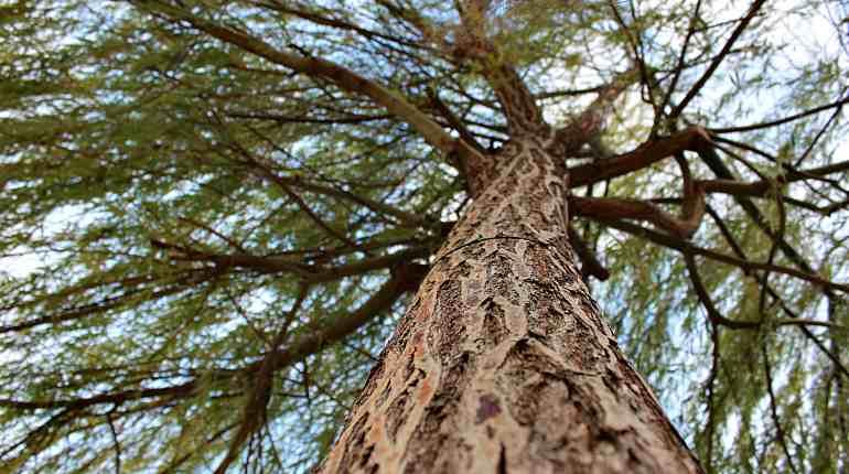 Сроки хранения коры лиственницы