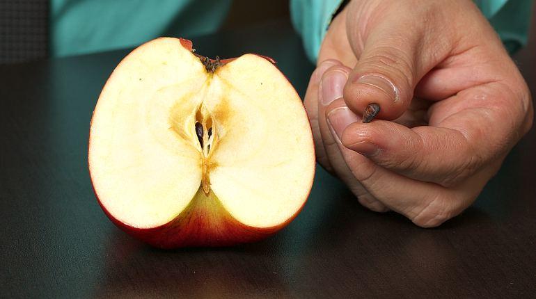 Употребление в пищу семена яблок