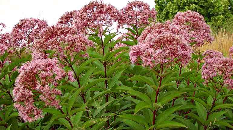 Лекарственное растение посконник
