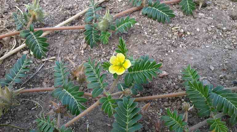 Растение земляной чилим
