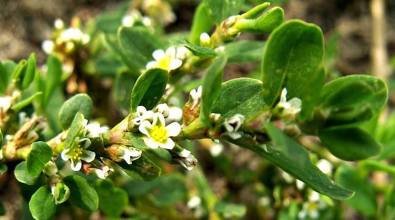 Цветки спорыша