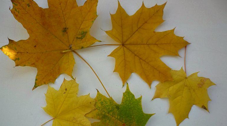 Желтые кленовые листья