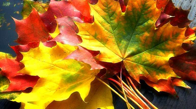 Разноцветные кленовые листья