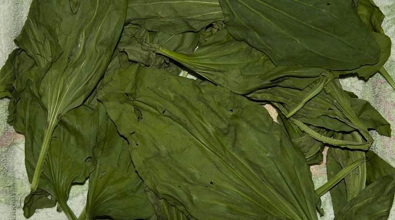 Заготовка листьев подорожника