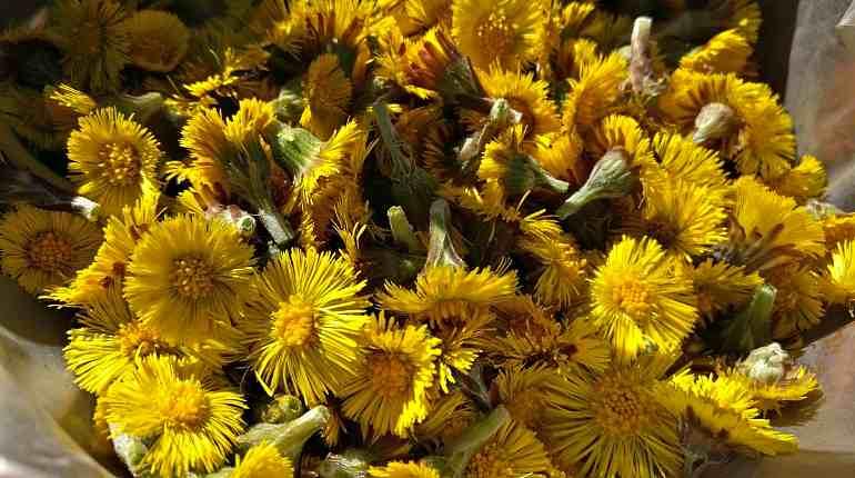 Применение цветков мать-и-мачехи