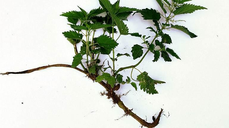 Заготовка корня крапивы