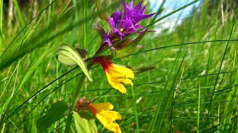 Золотушная трава