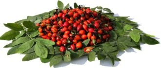Плоды и листья шиповника