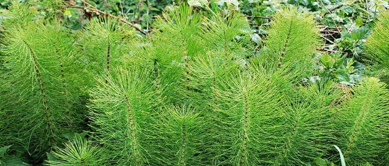 Растение полевой хвощ