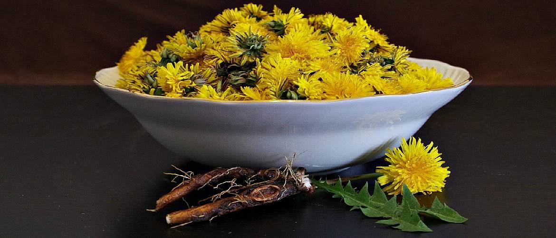 Корень и цветы одуванчика