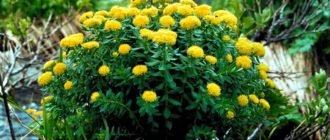 Цветы родиолы