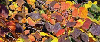 Листья дерева вяза