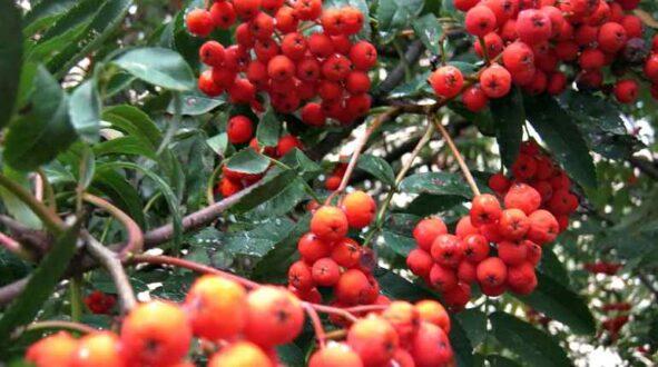 Лечебные свойства настойки рябины красной