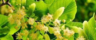 Цветущая ветка липы