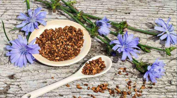 Корень цикория: лечебные свойства и противопоказания