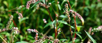 Растение водяной перец