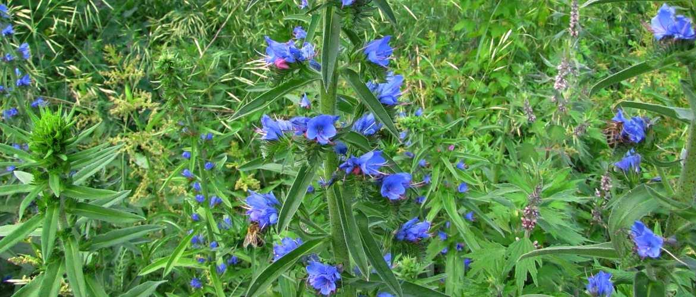 Трава синяк обыкновенный