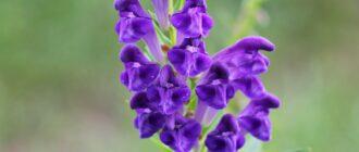 Растение щитовка