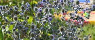 Растение чертогон