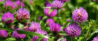 Растение клевер луговой