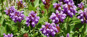Растение черноголовка