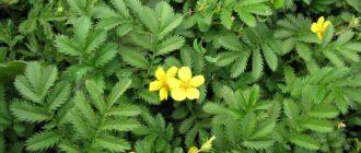 Растение гусиная лапчатка