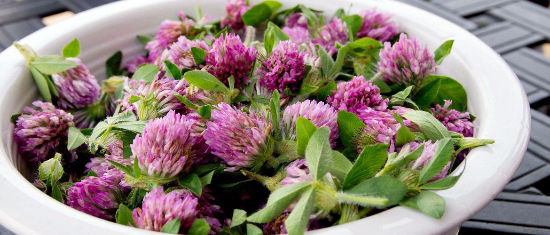 Приготовление настойки из цветков клевера